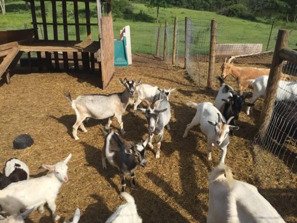 Ocala Goat For Sale Local Classifieds Craigslist Florida