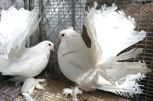 Orlando Pigeons For Sale Local Classifieds Craigslist Florida