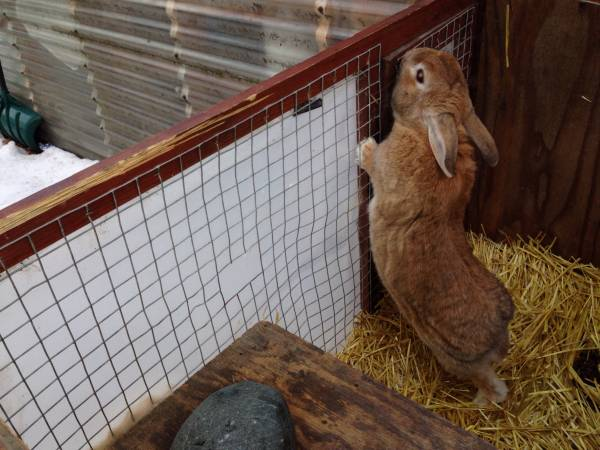 Spring Hill Rabbits For Sale Local Classifieds Craigslist ...