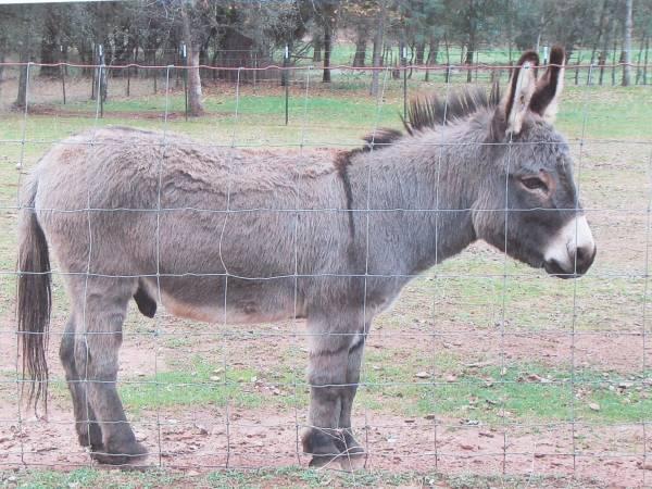 Ocala Donkeys For Sale Local Classifieds Craigslist Florida